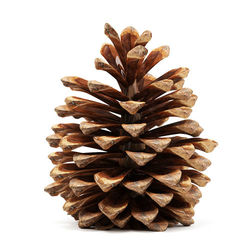 A picture of a pinecone to represent Pinecone Research the most popular paid survey company on the internet.
