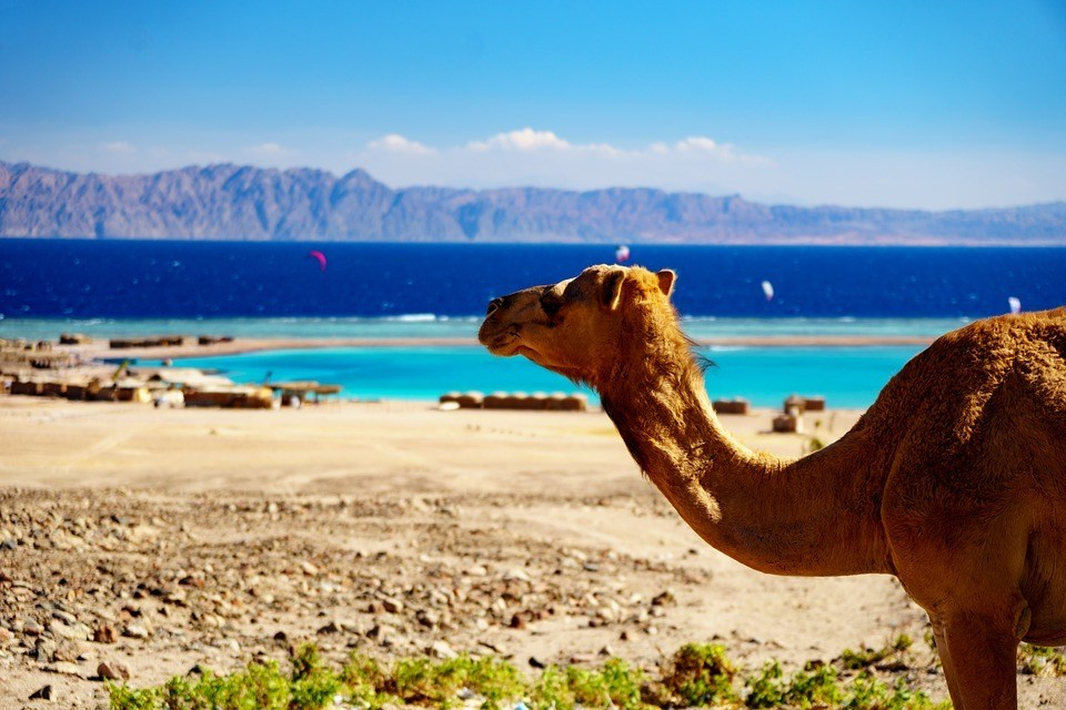 An image of a camel which suggests exotic travel, the good news is that you can finance your travel while you travel!