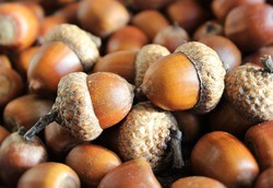 A picture of Acorns which is also an app as well as nuts and can save you money.